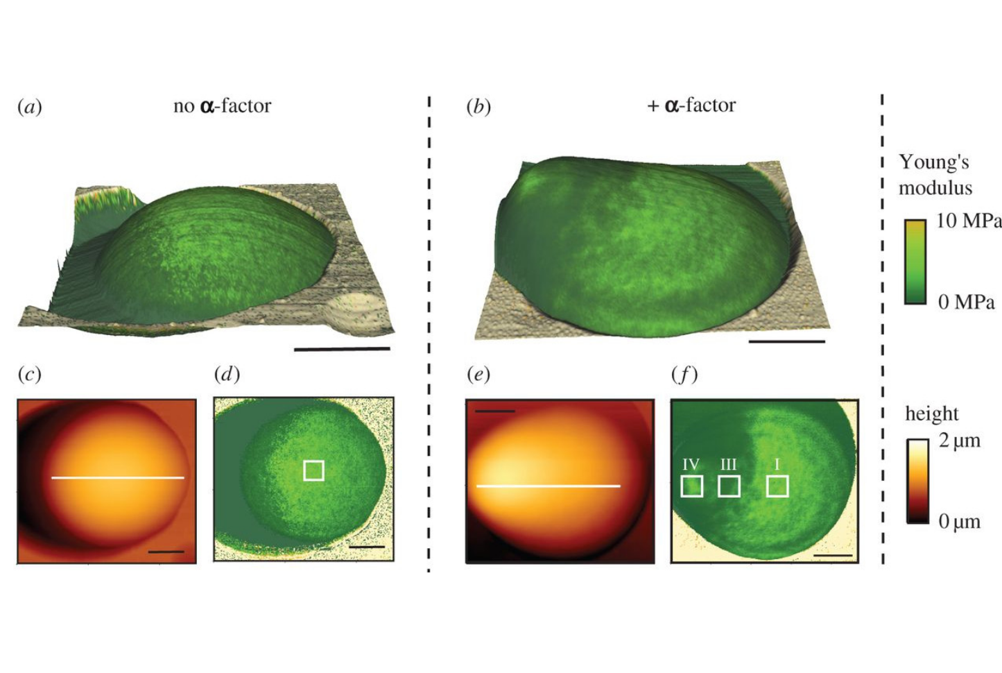Cell wall mechanics and AFM